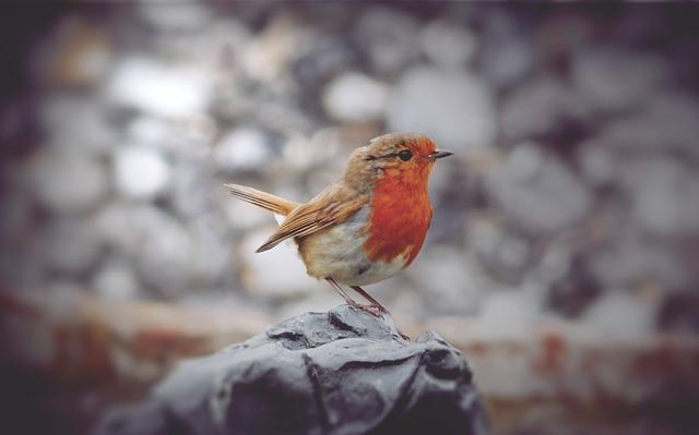pták červenka