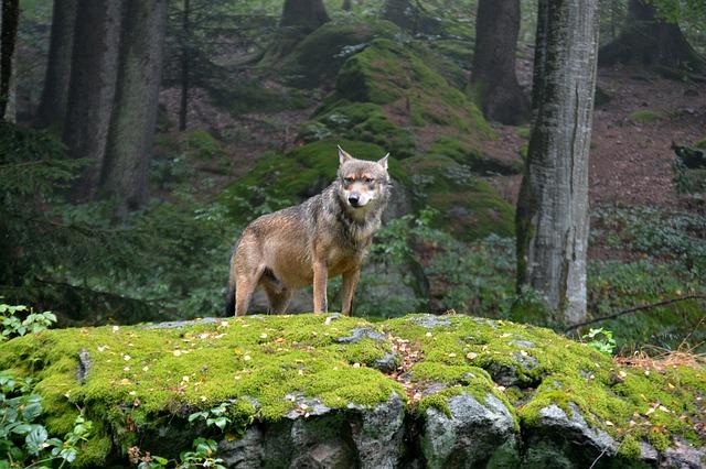 vlk vůdce smečky